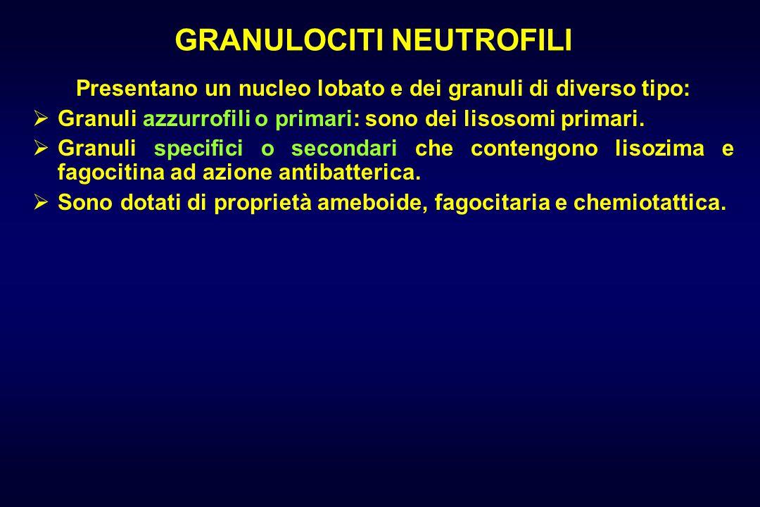 GRANULOCITI NEUTROFILI Presentano un nucleo lobato e dei granuli di diverso tipo:  Granuli azzurrofili o primari: sono dei lisosomi primari.