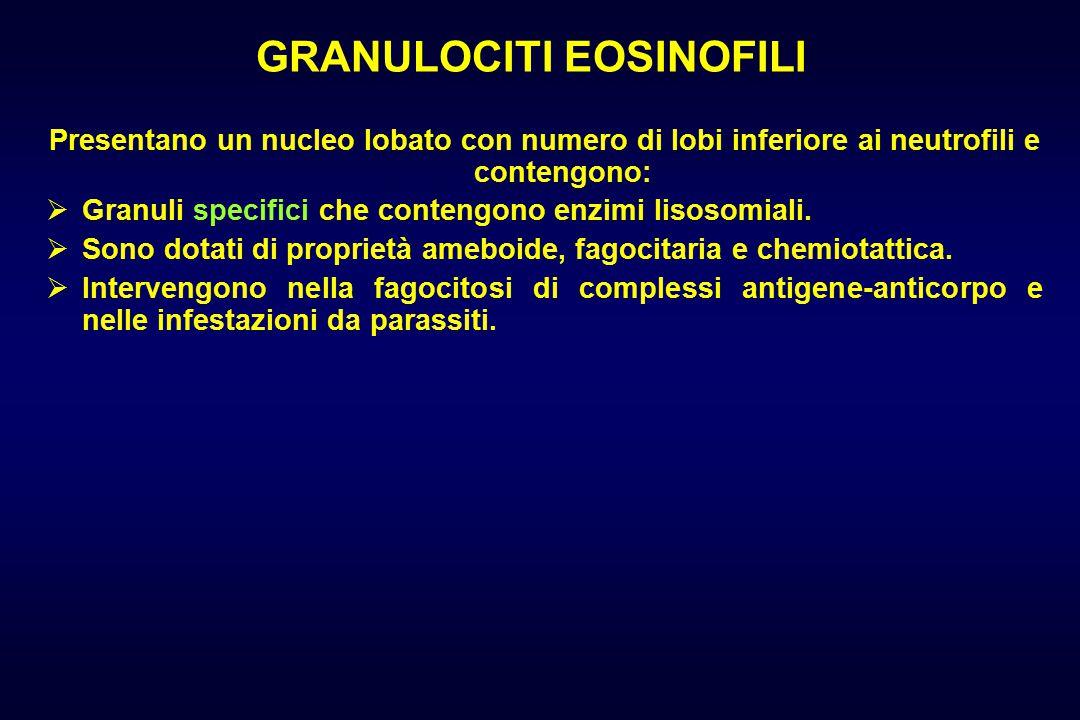 GRANULOCITI EOSINOFILI Presentano un nucleo lobato con numero di lobi inferiore ai neutrofili e contengono:  Granuli specifici che contengono enzimi lisosomiali.