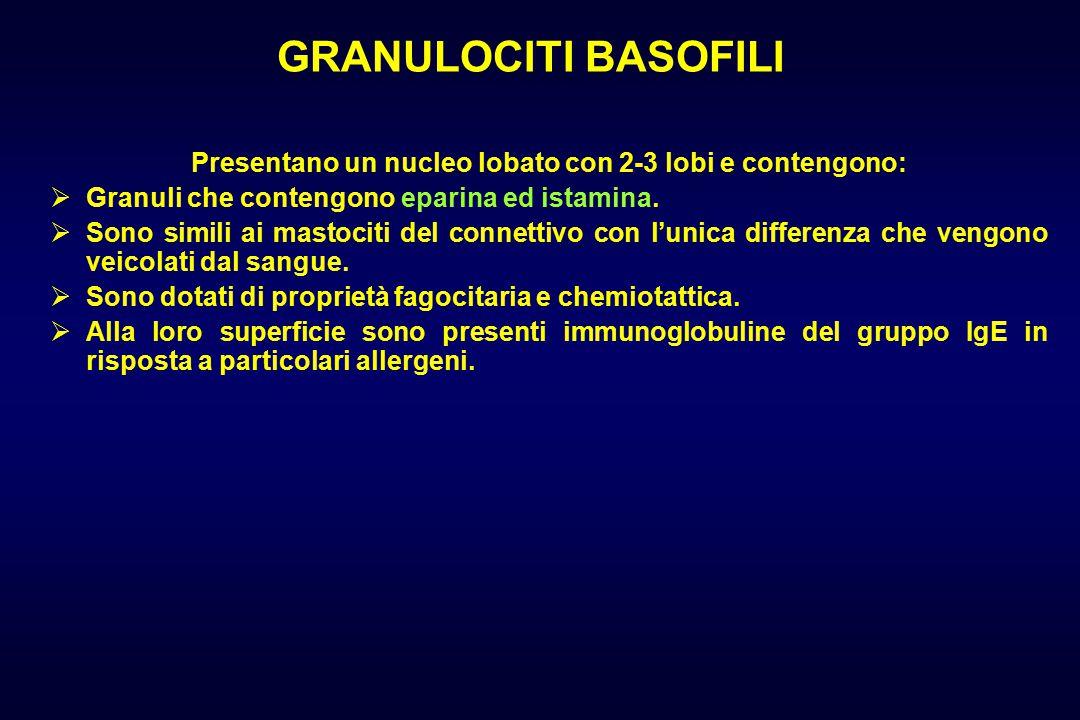 GRANULOCITI BASOFILI Presentano un nucleo lobato con 2-3 lobi e contengono:  Granuli che contengono eparina ed istamina.