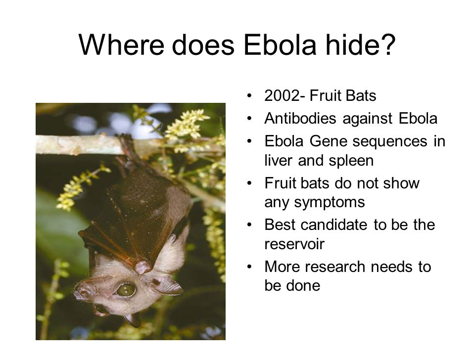 Where does Ebola hide? 2002- Fruit Bats Antibodies against Ebola Ebola Gene sequences in liver and spleen Fruit bats do not show any symptoms Best can