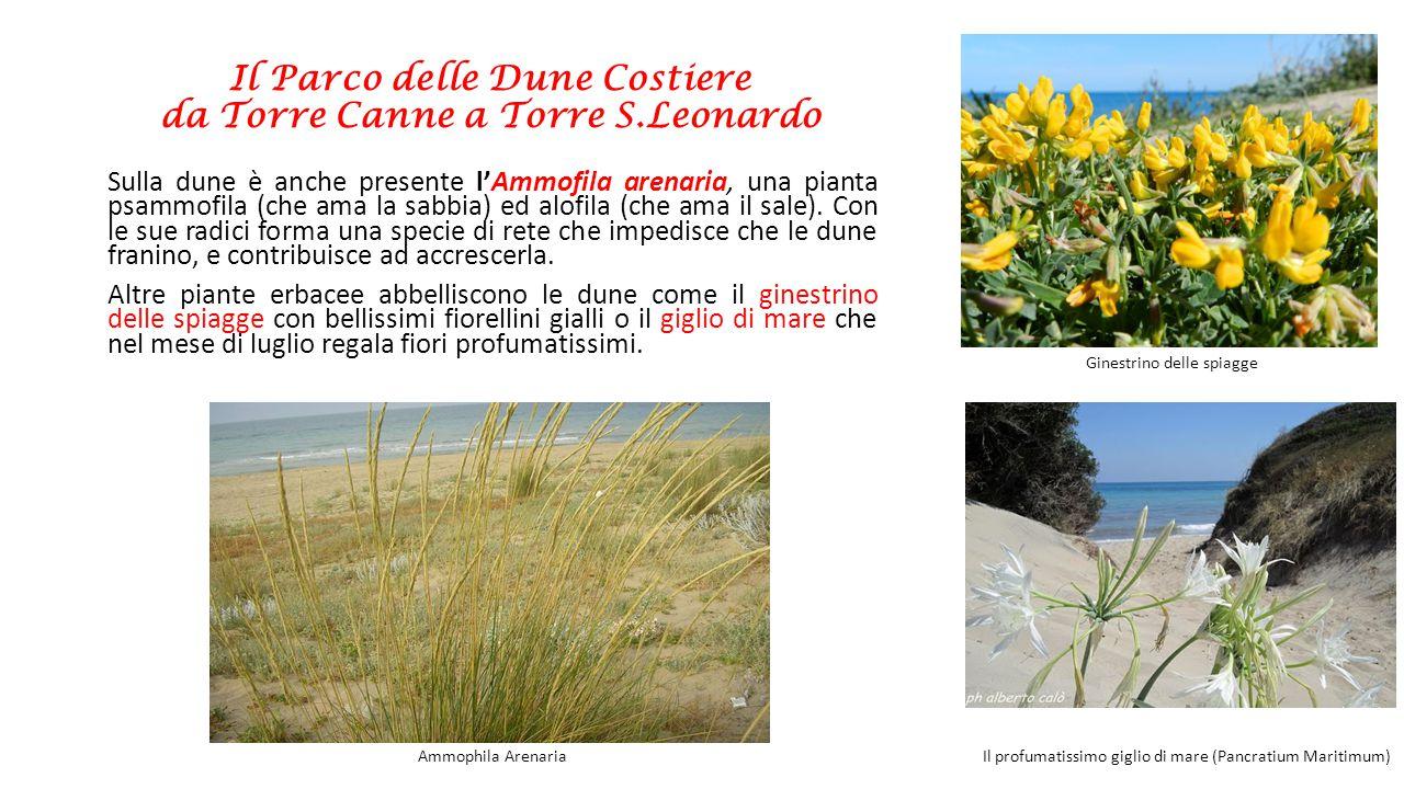 Il Parco delle Dune Costiere da Torre Canne a Torre S.Leonardo Sulla dune è anche presente l'Ammofila arenaria, una pianta psammofila (che ama la sabb