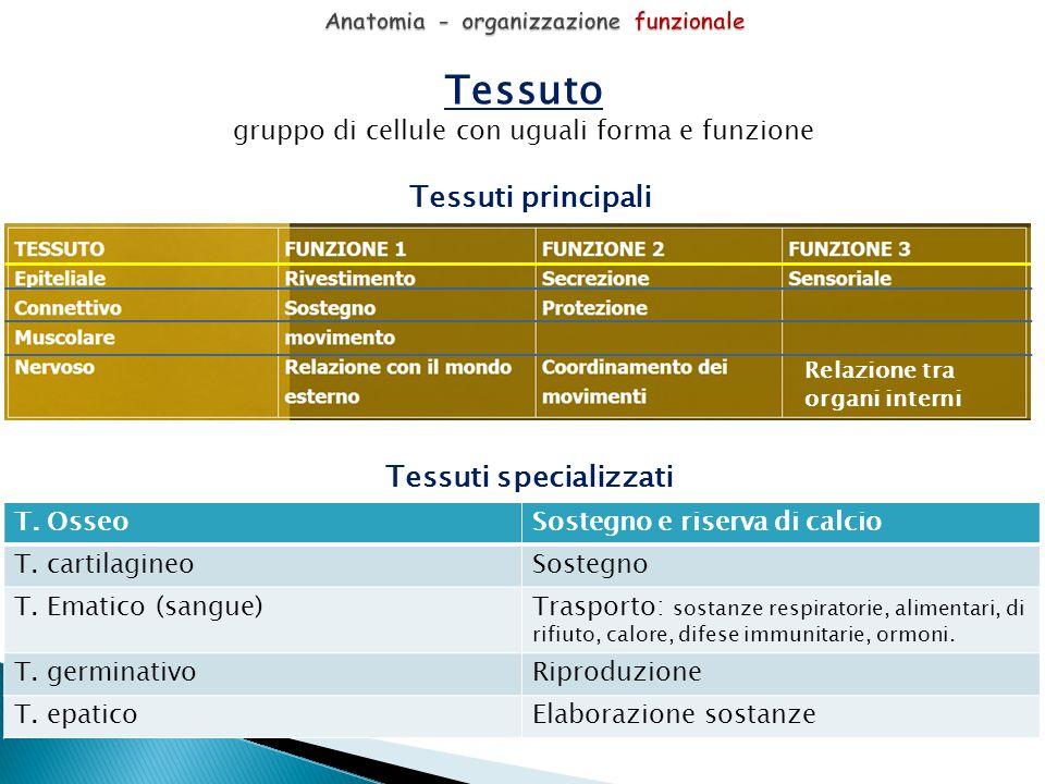 Tessuto gruppo di cellule con uguali forma e funzione Tessuti principali Tessuti specializzati T. OsseoSostegno e riserva di calcio T. cartilagineoSos