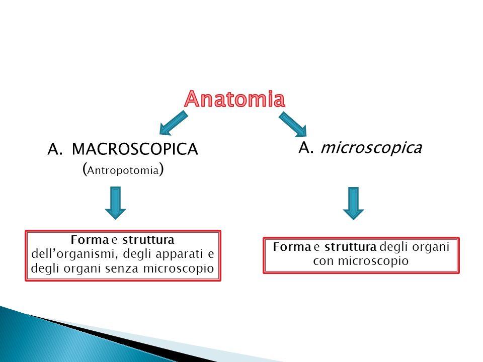 A.MACROSCOPICA ( Antropotomia ) A. microscopica Forma e struttura dell'organismi, degli apparati e degli organi senza microscopio Forma e struttura de