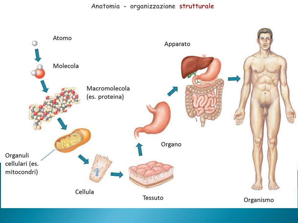 Il corpo umano, visto nel suo nel suo insieme, è diviso convenzionalmente in :  Testa, Faccia e Collo — includono tutto quanto si trova sopra al torace.