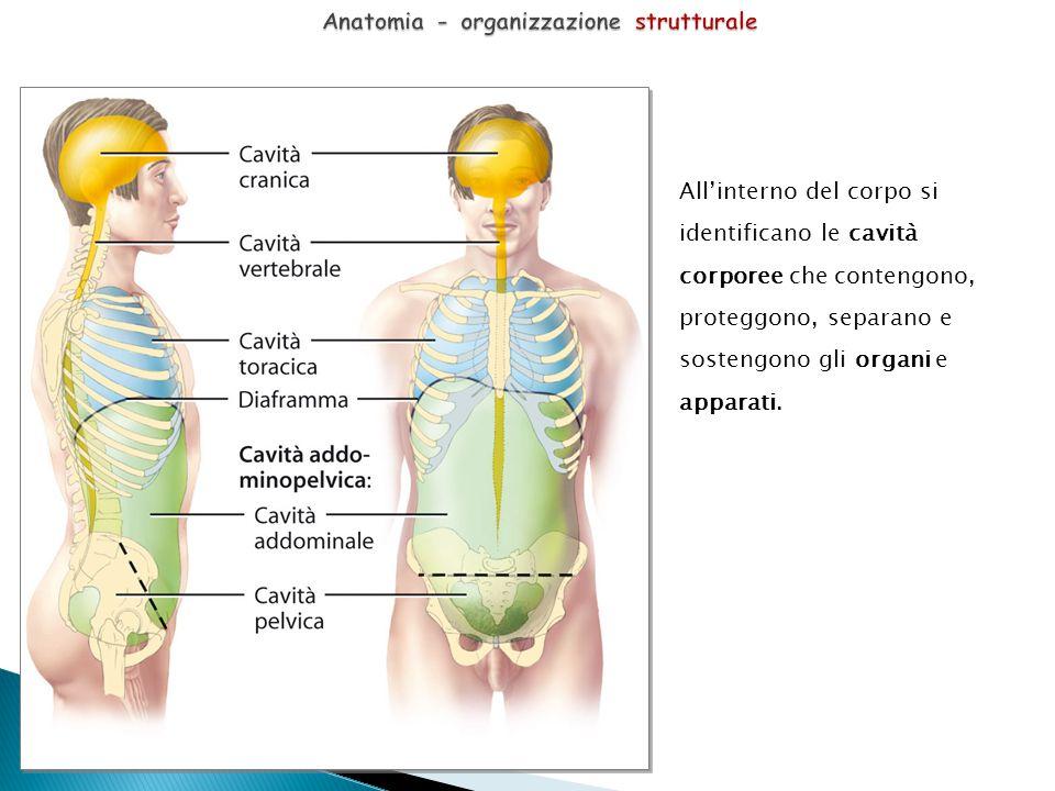 All'interno del corpo si identificano le cavità corporee che contengono, proteggono, separano e sostengono gli organi e apparati.