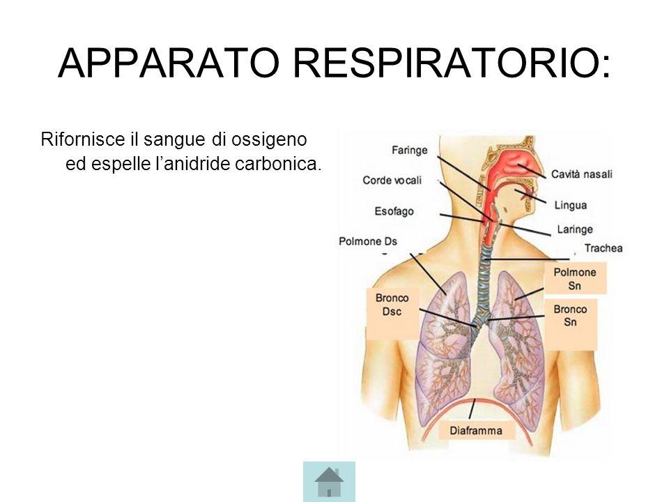 APPARATO RESPIRATORIO: Rifornisce il sangue di ossigeno ed espelle l'anidride carbonica.