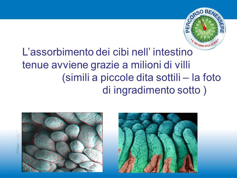 L'assorbimento dei cibi nell' intestino tenue avviene grazie a milioni di villi (simili a piccole dita sottili – la foto di ingradimento sotto )