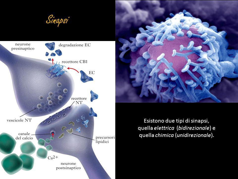 Sinapsi Esistono due tipi di sinapsi, quella elettrica (bidirezionale) e quella chimica (unidirezionale).