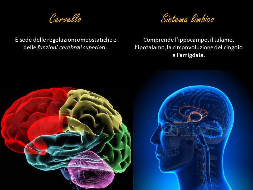 È sede delle regolazioni omeostatiche e delle funzioni cerebrali superiori. CervelloSistema limbico Comprende l'ippocampo, il talamo, l'ipotalamo, la