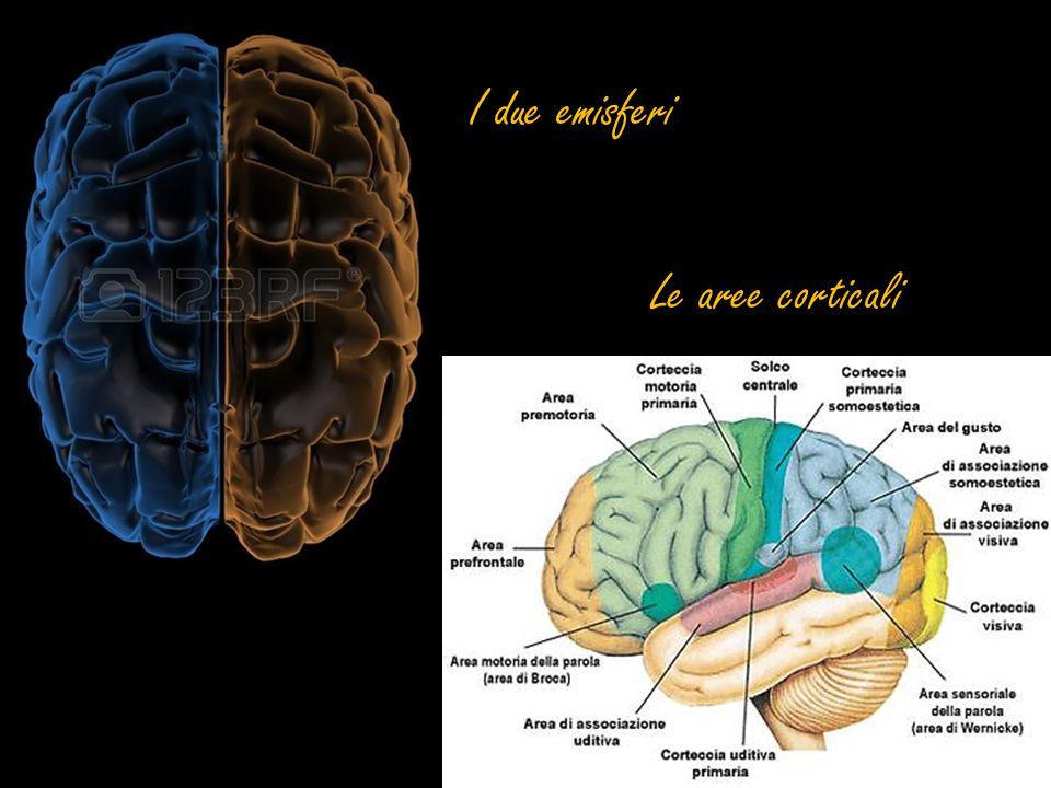 Cervelletto Ha la funzione di regolare il tono muscolare e di armonizzare i movimenti del corpo.