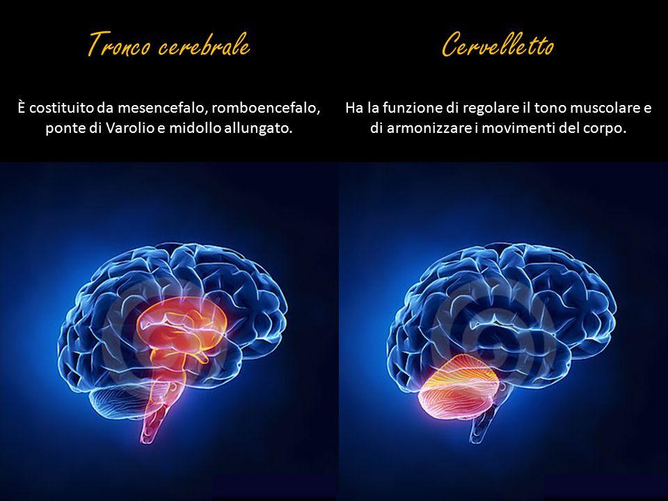 Cervelletto Ha la funzione di regolare il tono muscolare e di armonizzare i movimenti del corpo. Tronco cerebrale È costituito da mesencefalo, romboen