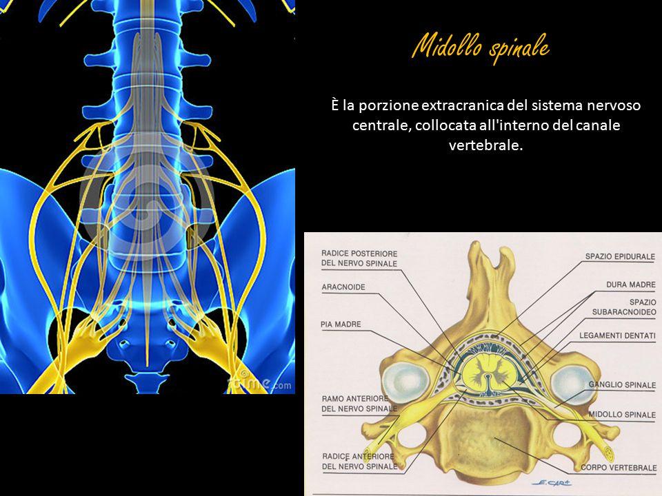 Midollo spinale È la porzione extracranica del sistema nervoso centrale, collocata all'interno del canale vertebrale.