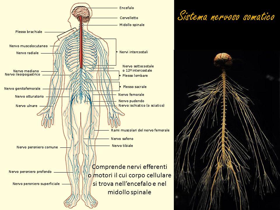 Sistema nervoso somatico Comprende nervi efferenti o motori il cui corpo cellulare si trova nell'encefalo e nel midollo spinale