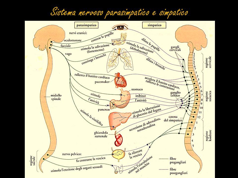 Neurone La struttura è costituita da: soma (o corpo cellulare), dendriti e assone