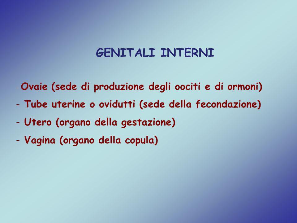 GENITALI INTERNI - Ovaie (sede di produzione degli oociti e di ormoni) - Tube uterine o ovidutti (sede della fecondazione) - Utero (organo della gesta
