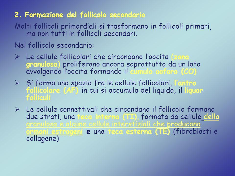 2. Formazione del follicolo secondario Molti follicoli primordiali si trasformano in follicoli primari, ma non tutti in follicoli secondari. Nel folli