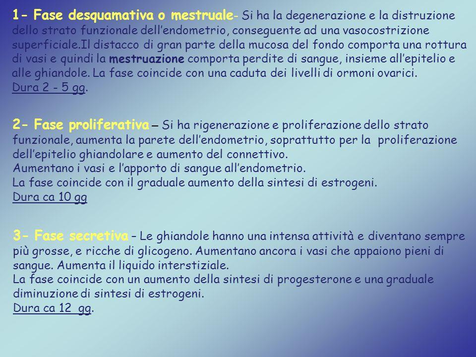 1- Fase desquamativa o mestruale - Si ha la degenerazione e la distruzione dello strato funzionale dell'endometrio, conseguente ad una vasocostrizione