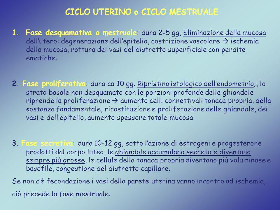 CICLO UTERINO o CICLO MESTRUALE 1.Fase desquamativa o mestruale : dura 2-5 gg, Eliminazione della mucosa dell'utero: degenerazione dell'epitelio, cost