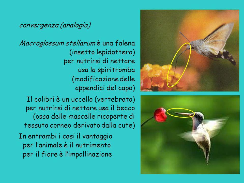 convergenza (analogia) Macroglossum stellarum è una falena (insetto lepidottero) per nutrirsi di nettare usa la spiritromba (modificazione delle appendici del capo) Il colibrì è un uccello (vertebrato) per nutrirsi di nettare usa il becco (ossa delle mascelle ricoperte di tessuto corneo derivato dalla cute) In entrambi i casi il vantaggio per l'animale è il nutrimento per il fiore è l'impollinazione