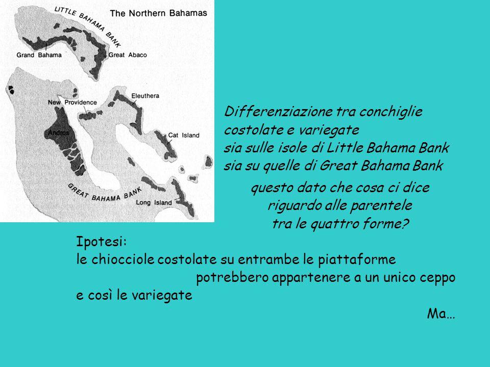 Differenziazione tra conchiglie costolate e variegate sia sulle isole di Little Bahama Bank sia su quelle di Great Bahama Bank questo dato che cosa ci dice riguardo alle parentele tra le quattro forme.