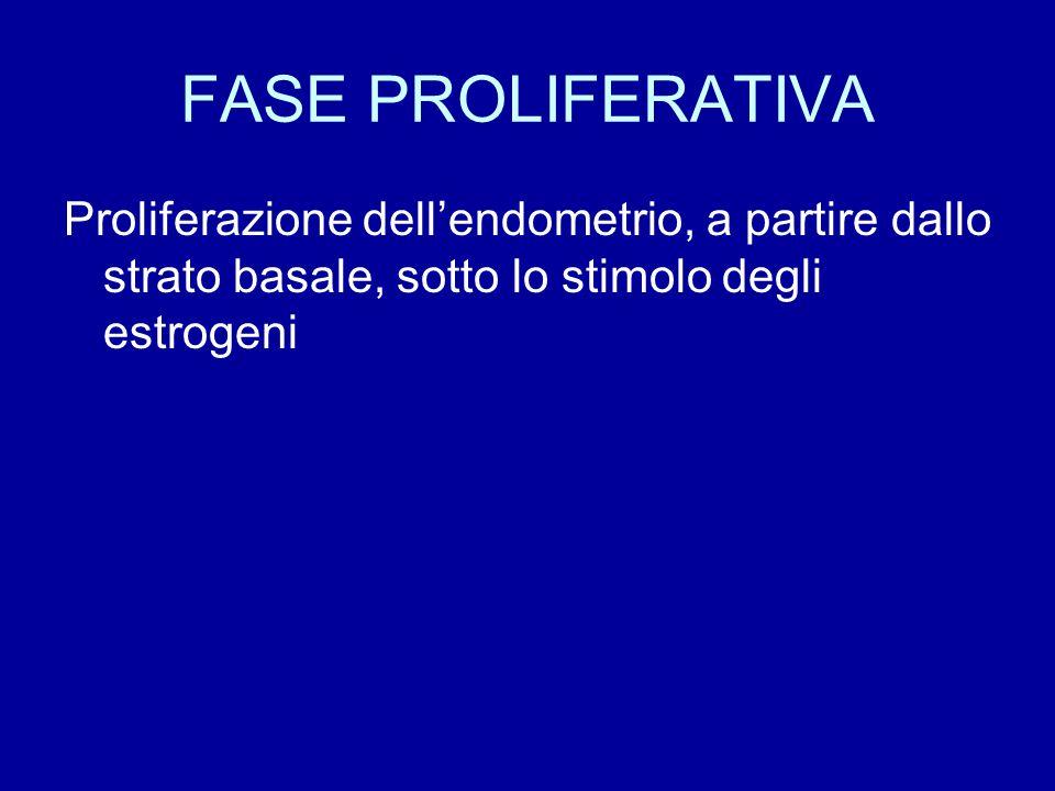 FASE PROLIFERATIVA Proliferazione dell'endometrio, a partire dallo strato basale, sotto lo stimolo degli estrogeni