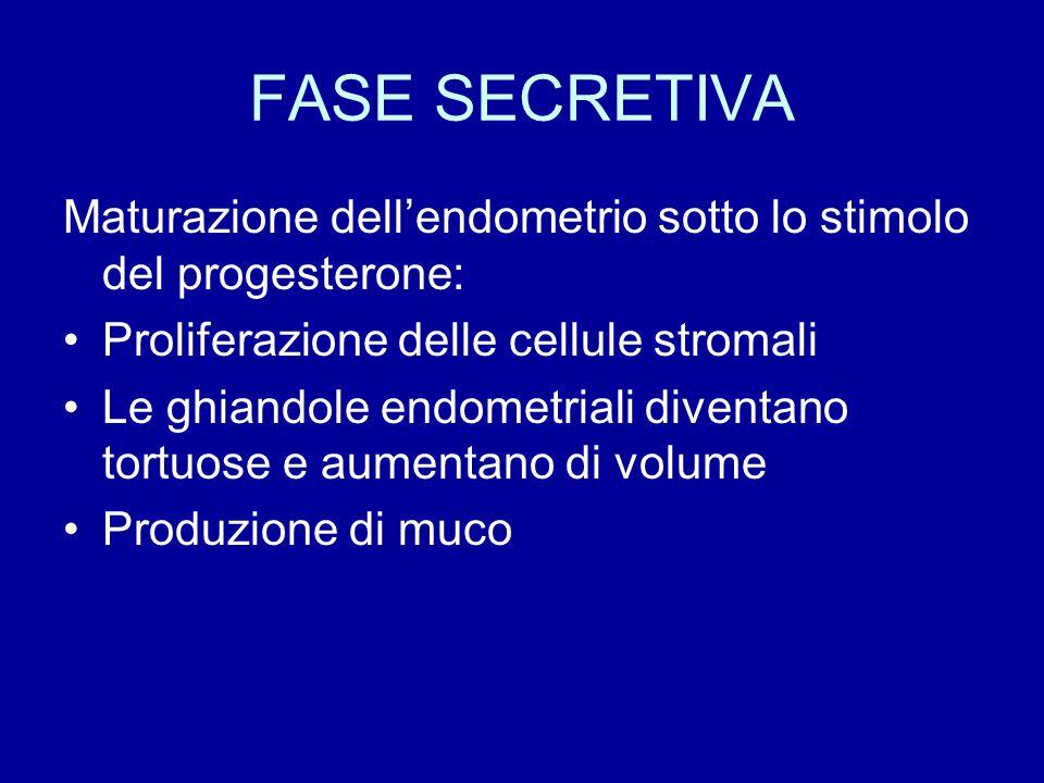 FASE SECRETIVA Maturazione dell'endometrio sotto lo stimolo del progesterone: Proliferazione delle cellule stromali Le ghiandole endometriali diventan