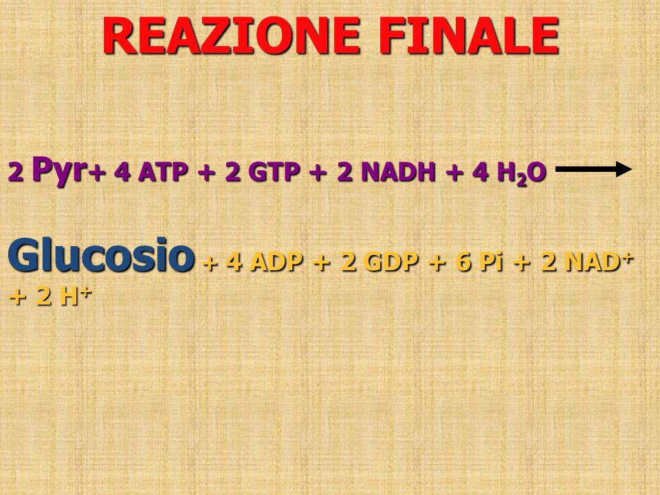 REAZIONE FINALE 2 Pyr + 4 ATP + 2 GTP + 2 NADH + 4 H 2 O Glucosio + 4 ADP + 2 GDP + 6 Pi + 2 NAD + + 2 H +