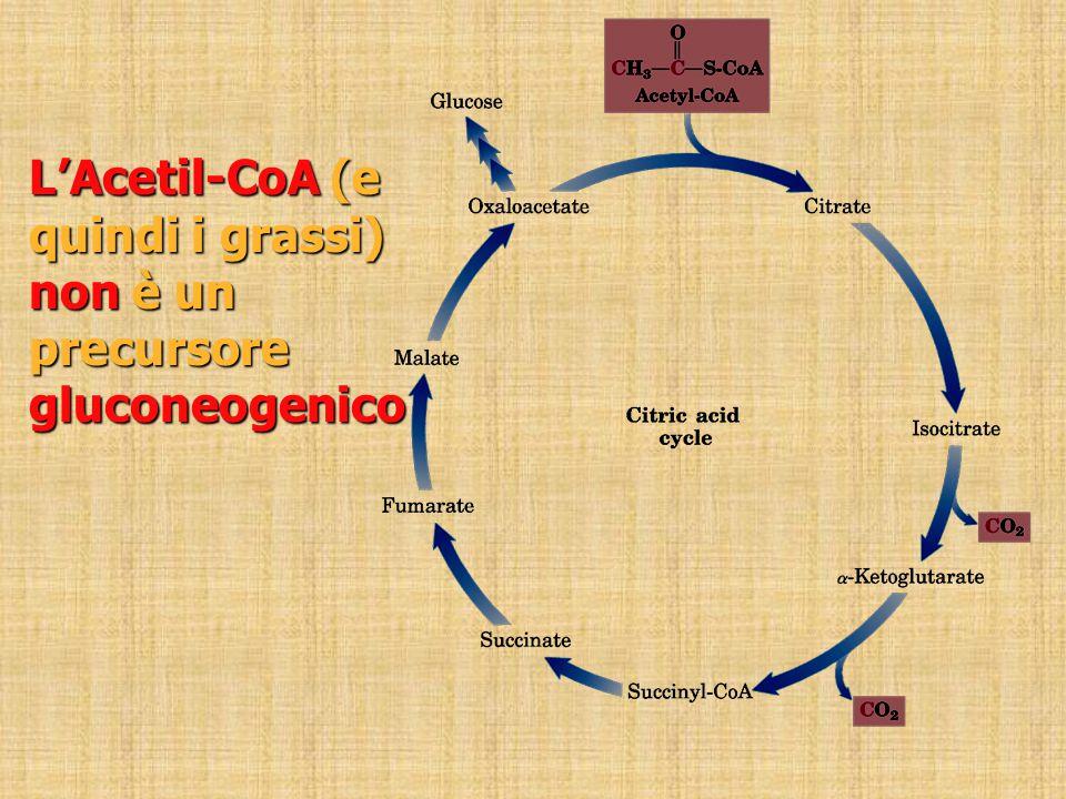 L'Acetil-CoA (e quindi i grassi) non è un precursore gluconeogenico