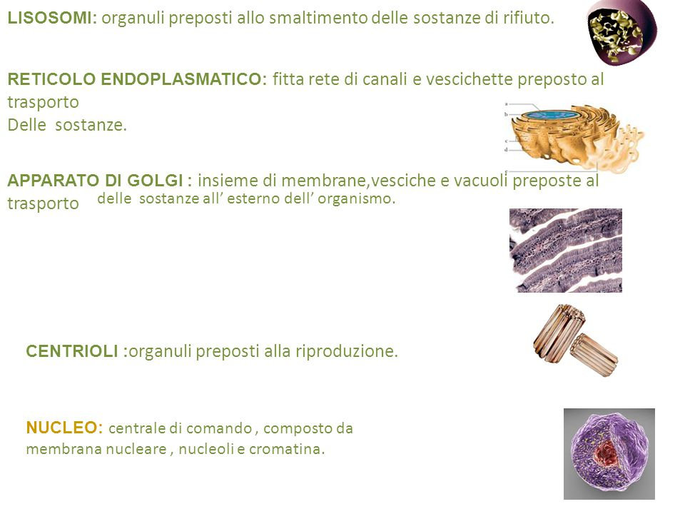 LISOSOMI: organuli preposti allo smaltimento delle sostanze di rifiuto.