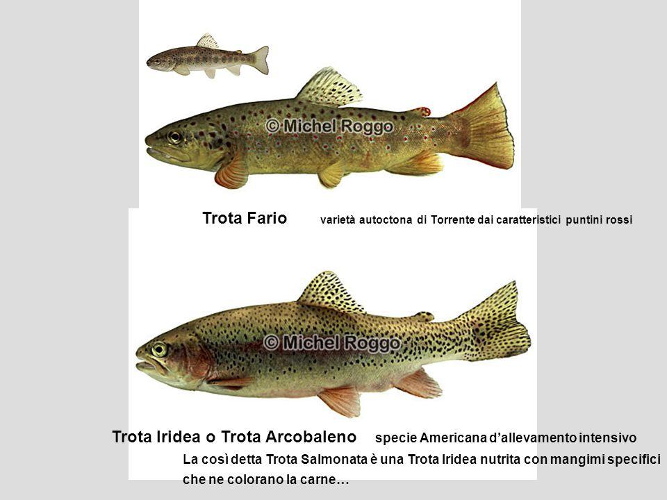 Trota Fario varietà autoctona di Torrente dai caratteristici puntini rossi Trota Iridea o Trota Arcobaleno specie Americana d'allevamento intensivo La