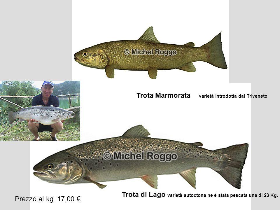 Trota Marmorata varietà introdotta dal Triveneto Trota di Lago varietà autoctona ne è stata pescata una di 23 Kg. Prezzo al kg. 17,00 €