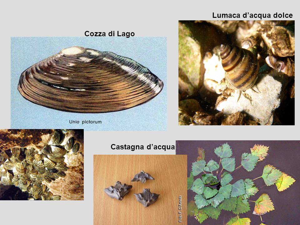 Cozza di Lago Lumaca d'acqua dolce Castagna d'acqua