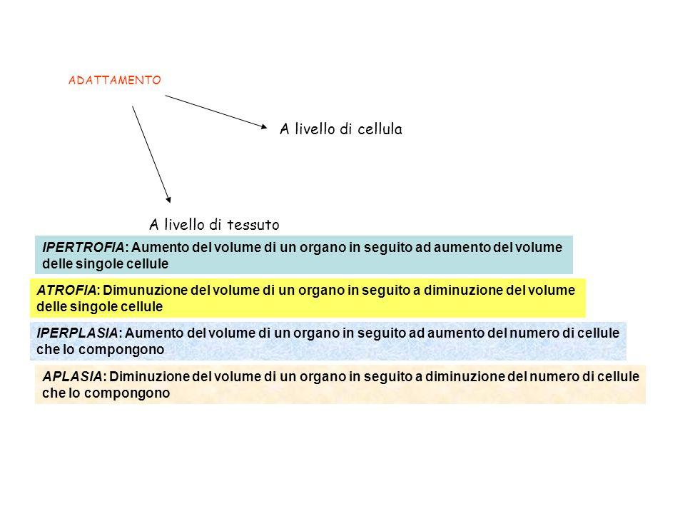 ADATTAMENTO A livello di cellula A livello di tessuto IPERTROFIA: Aumento del volume di un organo in seguito ad aumento del volume delle singole cellule IPERPLASIA: Aumento del volume di un organo in seguito ad aumento del numero di cellule che lo compongono ATROFIA: Dimunuzione del volume di un organo in seguito a diminuzione del volume delle singole cellule APLASIA: Diminuzione del volume di un organo in seguito a diminuzione del numero di cellule che lo compongono