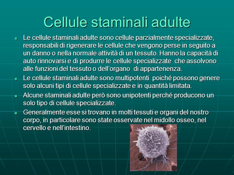 Cellule staminali adulte Le cellule staminali adulte sono cellule parzialmente specializzate, responsabili di rigenerare le cellule che vengono perse in seguito a un danno o nella normale attività di un tessuto.