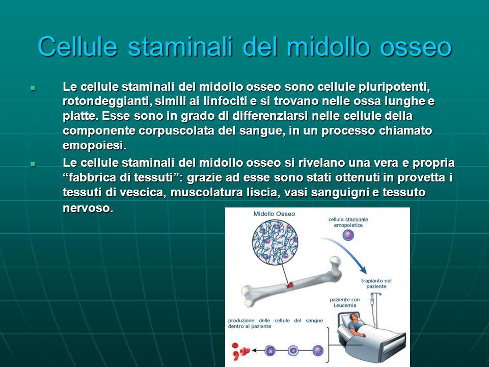 Cellule staminali del midollo osseo Le cellule staminali del midollo osseo sono cellule pluripotenti, rotondeggianti, simili ai linfociti e si trovano nelle ossa lunghe e piatte.