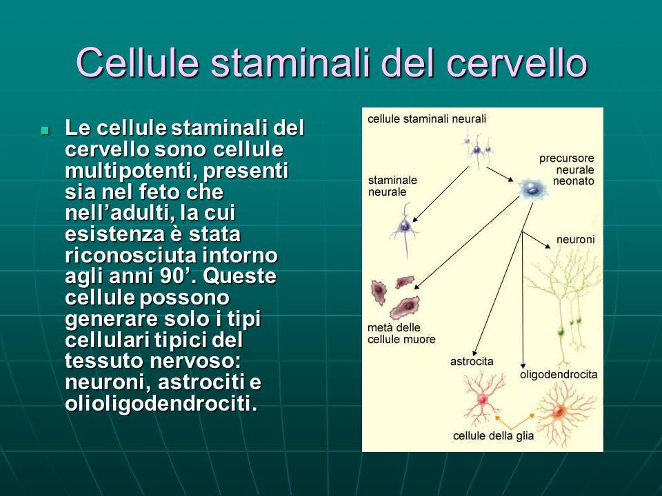 Cellule staminali del cervello Le cellule staminali del cervello sono cellule multipotenti, presenti sia nel feto che nell'adulti, la cui esistenza è stata riconosciuta intorno agli anni 90'.