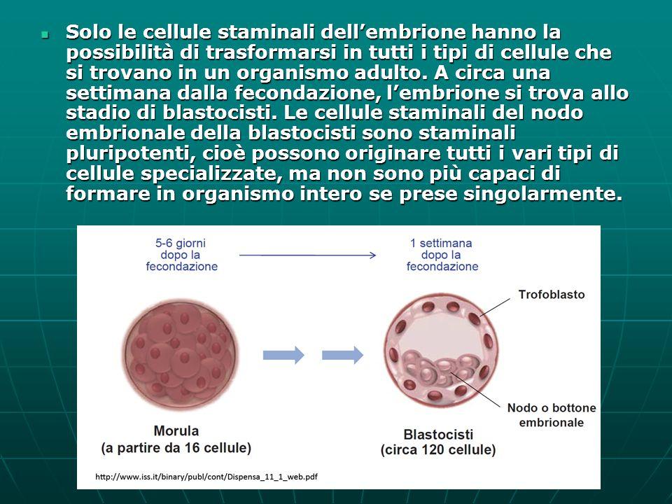 Solo le cellule staminali dell'embrione hanno la possibilità di trasformarsi in tutti i tipi di cellule che si trovano in un organismo adulto.