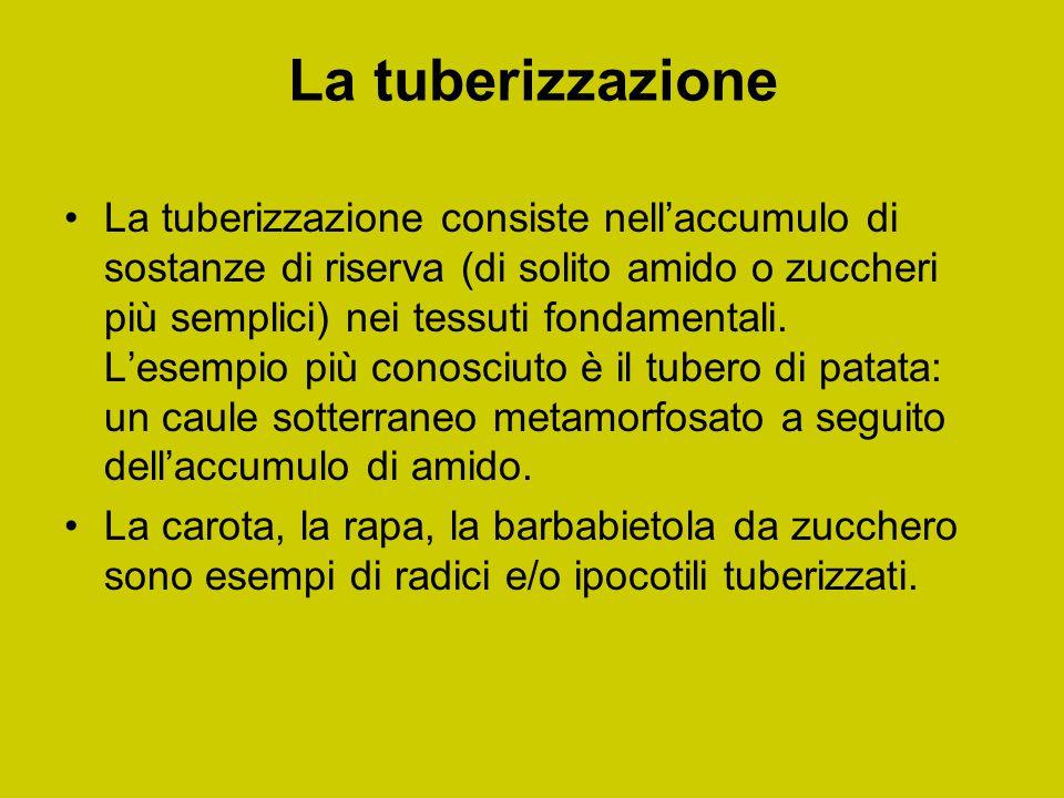 La tuberizzazione La tuberizzazione consiste nell'accumulo di sostanze di riserva (di solito amido o zuccheri più semplici) nei tessuti fondamentali.