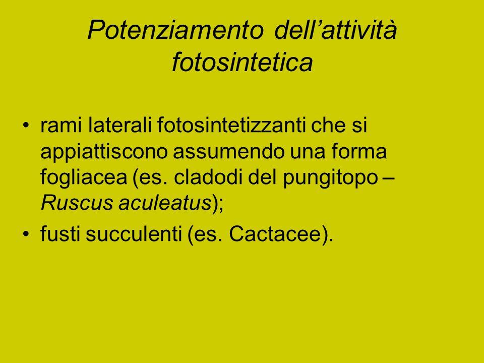 Potenziamento dell'attività fotosintetica rami laterali fotosintetizzanti che si appiattiscono assumendo una forma fogliacea (es. cladodi del pungitop