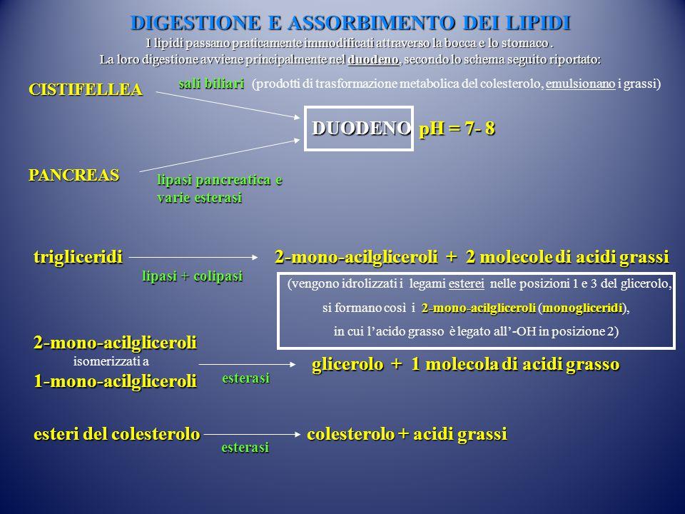Lipoproteine Chilomicroni VLDL LDL HDL Densità (g/ml) 0.93 0.95-1.006 1.019-1.063 1.063-1.210 Diametro Å* 800-5000 300-800 216 74-100 Composizione: proteine % lipidi % <2 98 8 92 22 78 50 Lipide maggiore Trigliceridi Colesterolo Funzione principale Trasporto TG esogeni (assunti con gli alimenti) Trasporto TG endogeni (sintetizzati dall organismo) Trasporto colesterolo ai tessuti periferici Trasporto colesterolo dai tessuti periferici al fegato OrigineIntestinoFegato Metabolismo delle VLDL Intestino Fegato (*) L angstrom ( Å ) è un unità di lunghezza equivalente a 10 −10 metri, 0.1 nanometri.
