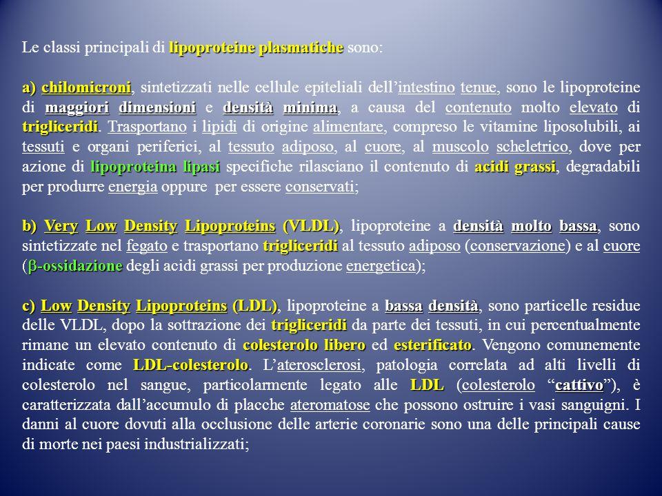 lipoproteine plasmatiche Le classi principali di lipoproteine plasmatiche sono: a) chilomicroni maggiori dimensioni densità minima trigliceridi lipoproteina lipasi acidi grassi a) chilomicroni, sintetizzati nelle cellule epiteliali dell'intestino tenue, sono le lipoproteine di maggiori dimensioni e densità minima, a causa del contenuto molto elevato di trigliceridi.