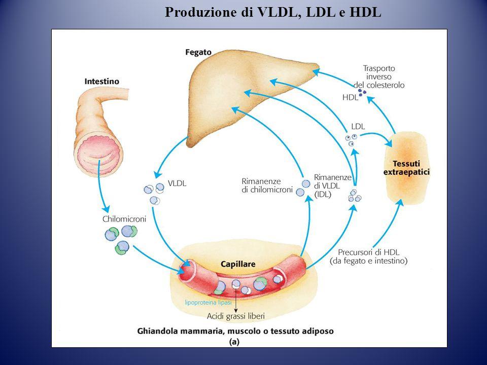 Produzione di VLDL, LDL e HDL