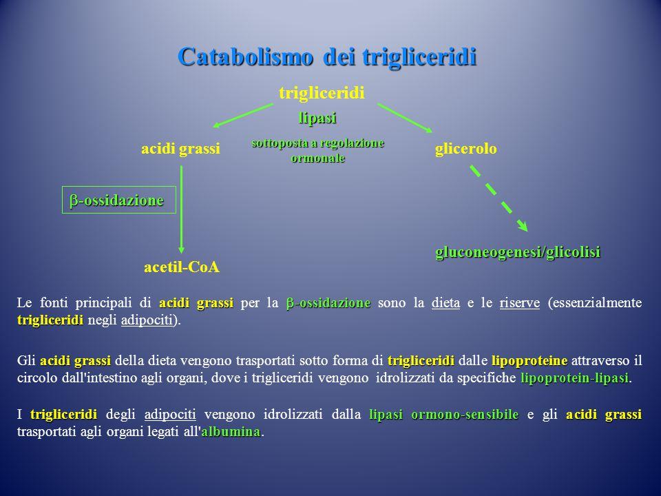 acidi grassi glicerolo lipasi sottoposta a regolazione ormonale acetil-CoA gluconeogenesi/glicolisi trigliceridi  -ossidazione Catabolismo dei trigliceridi acidi grassi  -ossidazione trigliceridi Le fonti principali di acidi grassi per la  -ossidazione sono la dieta e le riserve (essenzialmente trigliceridi negli adipociti).