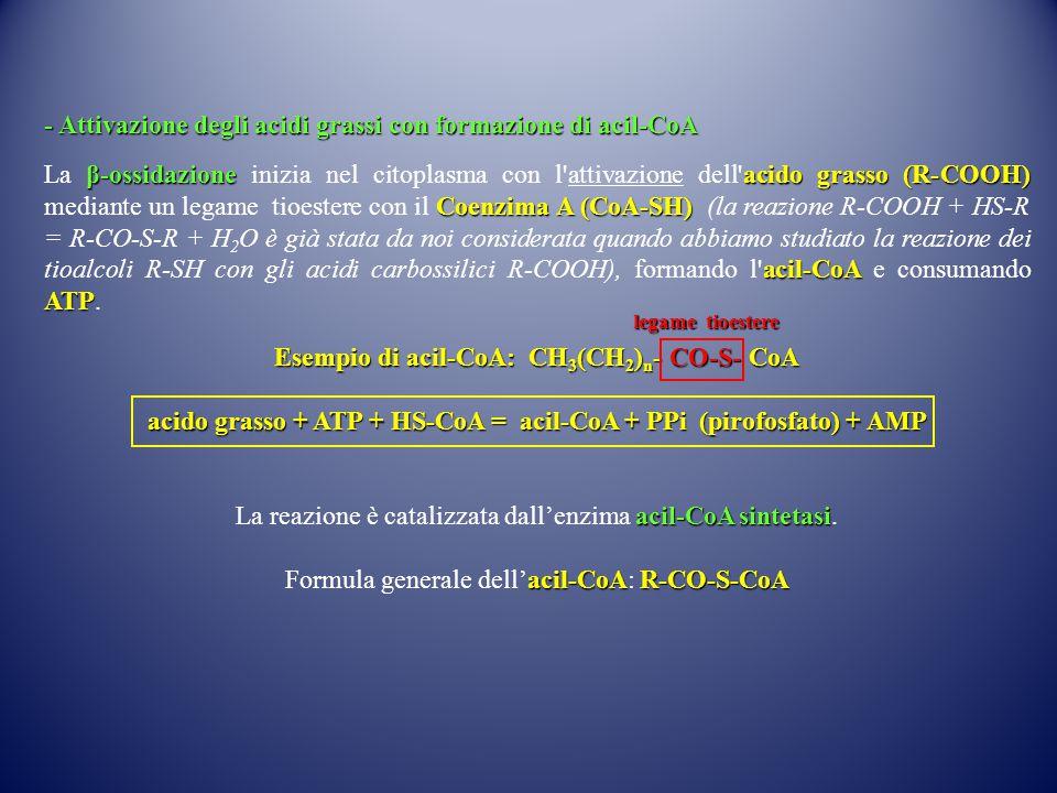 - Attivazione degli acidi grassi con formazione di acil-CoA β-ossidazioneacido grasso (R-COOH) Coenzima A (CoA-SH) acil-CoA ATP La β-ossidazione inizi