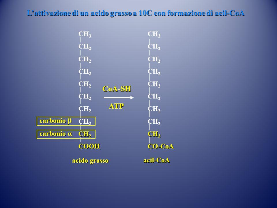 CH 3 CH 2 COOH CoA-SH ATP acil-CoA CH 3 CH 2 CO-CoA acido grasso carbonio  carbonio  L'attivazione di un acido grasso a 10C con formazione di acil-CoA L'attivazione di un acido grasso a 10C con formazione di acil-CoA