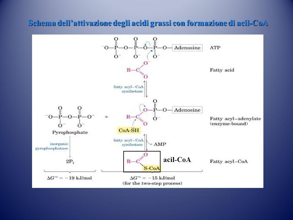 Schema dell'attivazione degli acidi grassi con formazione di acil-CoA acil-CoA