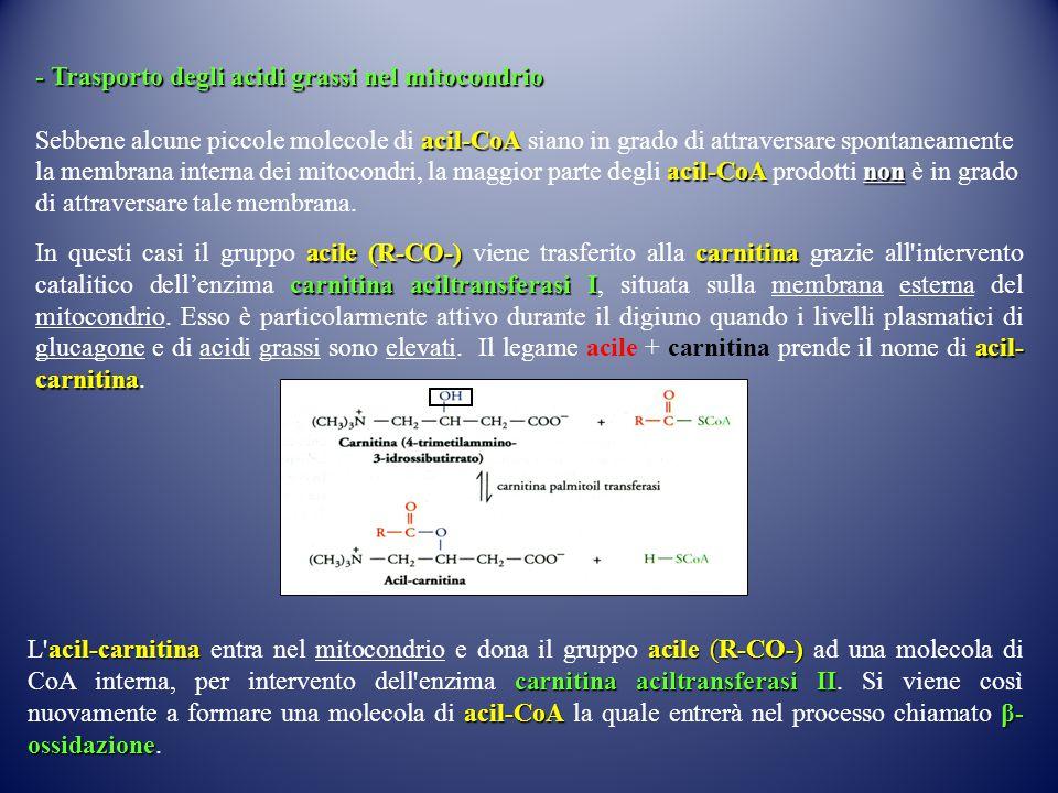 - Trasporto degli acidi grassi nel mitocondrio acil-CoA acil-CoA non Sebbene alcune piccole molecole di acil-CoA siano in grado di attraversare spontaneamente la membrana interna dei mitocondri, la maggior parte degli acil-CoA prodotti non è in grado di attraversare tale membrana.