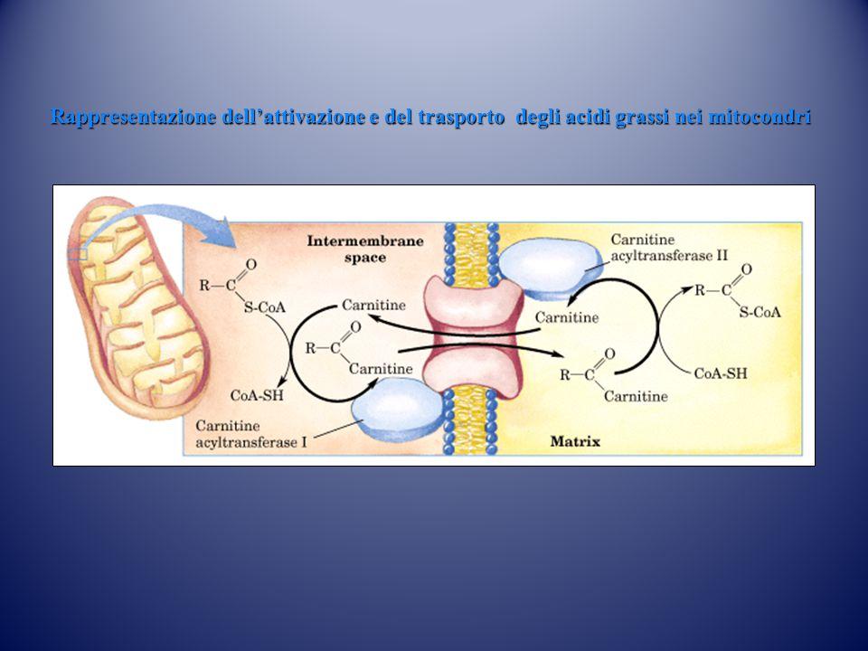 Rappresentazione dell'attivazione e del trasporto degli acidi grassi nei mitocondri acil-CoA
