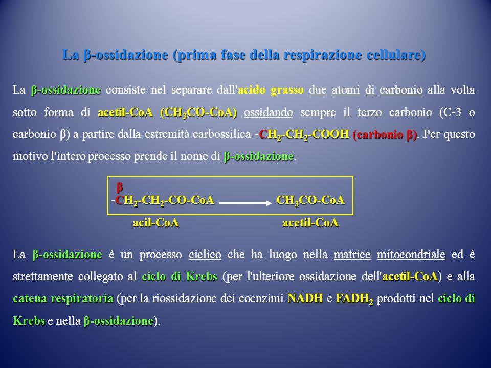La β-ossidazione (prima fase della respirazione cellulare) β-ossidazione acetil-CoA(CH 3 CO-CoA) CH 2 -CH 2 -COOH(carbonio β) β-ossidazione La β-ossid