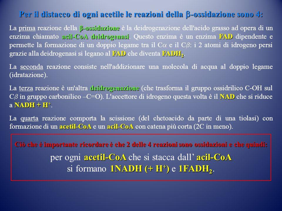Per il distacco di ogni acetile le reazioni della  -ossidazione sono 4: β-ossidazione acil-CoA deidrogenasiFAD FADFADH 2 La prima reazione della β-os